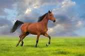 picture of stallion  - Beautiful bay stallion running on the meadow against blue sky - JPG