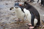image of falklands  - Rockhopper Penguins  - JPG