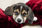 picture of puppy beagle  - A closeup shot of an adorble little beagle puppy with focus on his face and copyspace - JPG