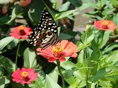 picture of butterfly  - Butterfly on chrysanthemum  flower concord butterflies love them - JPG