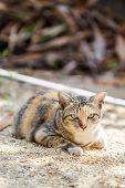 image of tabby-cat  - Tabby Cat - JPG