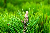 pic of conifers  - a closeup picture o a well grown green conifer - JPG