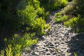 foto of naturalist  - winding sandy path through small sunlit wattle shrubs - JPG