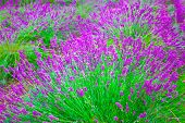 stock photo of lavender field  - Violet lavender flowers in the field in sunny day - JPG