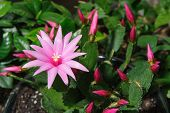 stock photo of schlumbergera  - close up of pink color schlumbergera flower - JPG