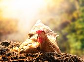 image of farm land  - relaxing of chicken hen lying in dirt soil against beautiful sun light background use good management in livestock farm and agriculture in rural scene - JPG