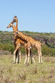 Постер, плакат: three giraffes herd in savannah