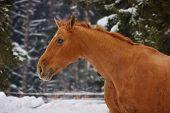 stock photo of chestnut horse  - The chestnut horse in winter snow - JPG