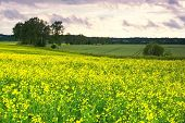 pic of rape-field  - Beautiful blooming yellow rape field at sunset with clouds - JPG