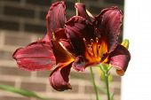 foto of day-lilies  - day lily blooming in the sun light - JPG