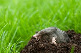 stock photo of mole  - Profil of a mole digging the soil - JPG