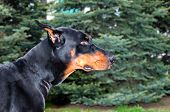 image of doberman pinscher  - The Doberman Pinscher is on the green grass in the park - JPG