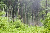 picture of rainy day  - Green Carpathian forest in rainy day morning with fog - JPG