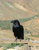 stock photo of raven  - Canary island raven  - JPG