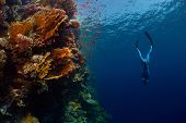 picture of bottomless  - Freediver descending along the vivid reef wall - JPG