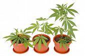 pic of cannabis  - Hemp  - JPG