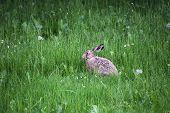image of hare  - European hare  - JPG