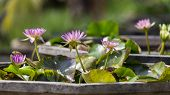 picture of water bug  - Purple water lily in small pool with green leafs during the sunny day - JPG