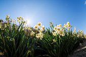pic of daffodils  - White Double Daffodil - JPG