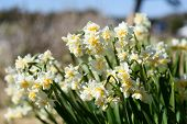 picture of daffodils  - White Double Daffodil - JPG