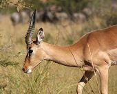 Постер, плакат: Antelope In Botswana