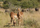 Постер, плакат: Antelopes In Botswana