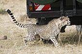 picture of cheetah  - Adult cheetah sneaking under safari vehicle with tourists Masai Mara National Reserve Kenya East Africa  - JPG