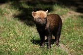 pic of rainforest animal  - Bush dog  - JPG