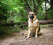 picture of herding dog  -  a german shepherd dog out in nature looking at a ball to be thrown  - JPG
