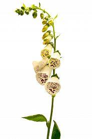 pic of digitalis  - Flower foxglove lat - JPG