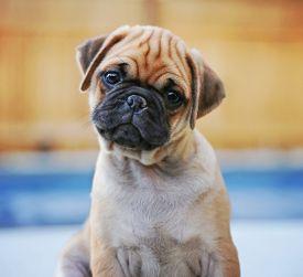 foto of chug  - a cute chihuahua pug mix puppy  - JPG
