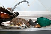 Two Young Rats (rattus Norvegicus)  On The Sink With Dirty Crockery At The Kitchen. Fight With Roden poster