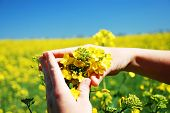 picture of biodiesel  - Bright yellow Brassica napus flowers in their hands - JPG