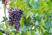 Grapes Close-up. Vine. Berries Of Grapes. Grapes poster