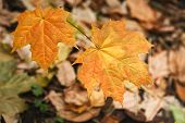Yellow Autumn Maple Leaves, Top View, Copy Space. Beautiful Fall Season Foliage Background. Love To  poster