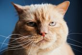 Closeup Shot Of Dissatisfied Red Cat Looking At Camera While Sitting On Blue Background poster