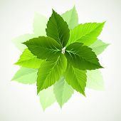 image of green leaves  - branch with fresh green leaves - JPG