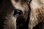 Elephants Are Large Mammals Of The Family Elephantidae And The Order Proboscidea. Detail Face Africa poster