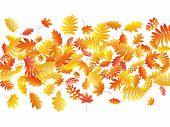 Oak, Maple, Wild Ash Rowan Leaves Vector, Autumn Foliage On White Background. Red Orange Yellow Rowa poster