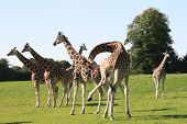 foto of zoo animals  - giraffe is the highest animal long neck unique camouflage - JPG