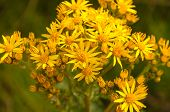 Narrow-leaved Ragwort In Early Morning Sunlight