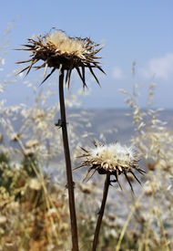 stock photo of defloration  - deflorate thistle flower as a symbol of bad environment - JPG