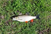 stock photo of chub  - beautiful caught fish chub laying on the grass - JPG