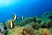picture of shoal fish  - Moorish Idol fish on coral reef underwater - JPG