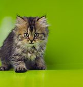 picture of mew  - nice young cat on a green background in the studio - JPG