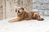 pic of herding dog  - Himalayan herding dog relaxing at Leh city street - JPG