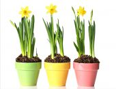 stock photo of plant pot  - Potted daffodils in three pretty pastel pots - JPG