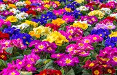 picture of primrose  - Central focus on a group of brightly colored Primroses - JPG