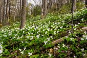 image of trillium  - White Trilliums growing on a wooded Hillside - JPG