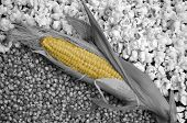 picture of corn-silk  - Yellow rows of corn pops on an ear of corn that is partially shucked - JPG